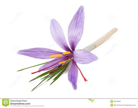 fiore dello zafferano fiore dello zafferano fotografia stock immagine 46444907