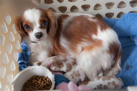 cavalier puppies for adoption cavalier rescue has puppies spoiled cavaliers