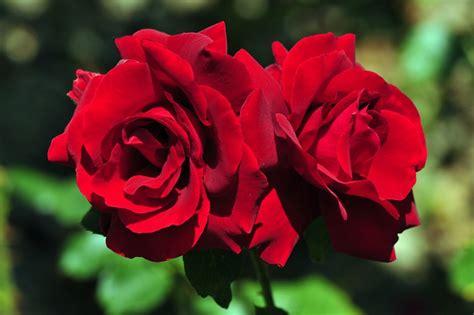 Bunga Mawar Alam Indah mawar mawar bunga bunga gambar bunga bunga pigura