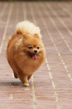 how to shave a pomeranian like boo pomeranian on pomeranians pomeranian puppy and cutest dogs