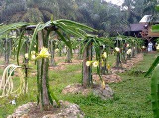 Bibit Buah Naga Kuning Jumbo bibit buah naga kuning bermutu toko tanaman toko tanaman