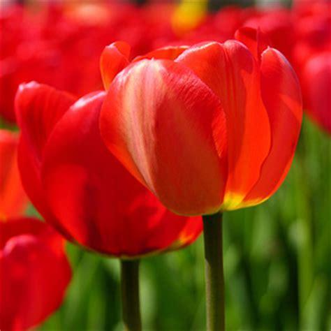 il fiore tulipano fiore tulipano consegna fiori a domicilio
