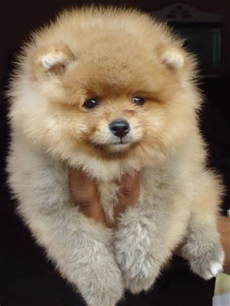 pomeranian names indian pomeranian puppies for sale yousuf khaja 1 8483 dogs for sale price of puppies