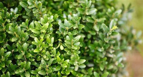 arbusti sempreverdi da terrazzo piante sempreverdi da balcone benessere leonardo it