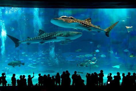 japanese aquarium okinawa churaumi aquarium japan beautiful japan pinterest
