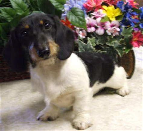 piebald dachshund puppies weatherly s miniature piebald dachshunds puppies