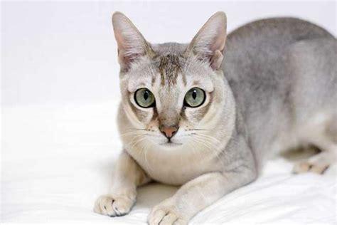 Mini 4 Di Singapura gatto singapura carattere e caratteristiche piccolo