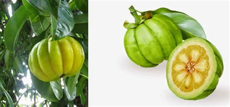 Jual Bibit Buah Naga Di Sumatra Utara jual bibit asam gelugur aneka tanaman
