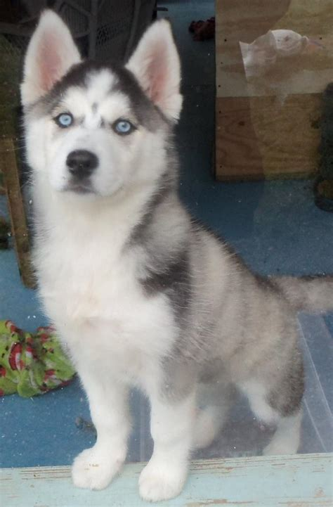 grey husky puppies grey husky puppies for sale hxbdfl0mr jpg 800 215 1218 huskys
