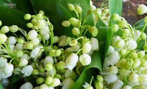 Muguet Fleurs Images by Mois Du Muguet Photo De Fleur Une Pensee Fleuriste