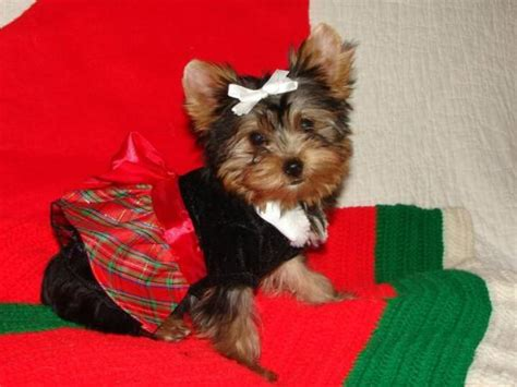 free teacup puppies in nj beautiful yorkie puppiesfor free adoption