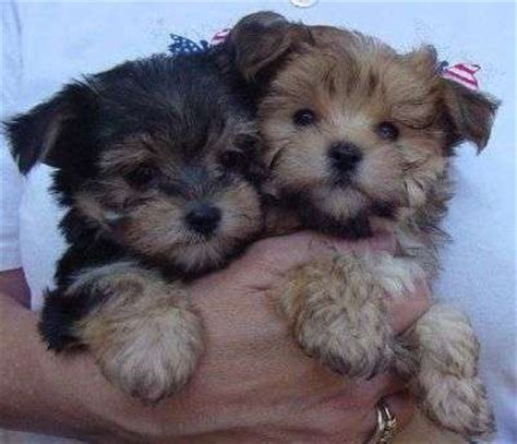 teacup yorkie breeders uk tea cup yorkie puppies for free for sale in newcastle upon tyne tea cup yorkie