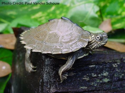 texas map turtle care graptemys sabinensis history care and photo gallerytheturtleroom