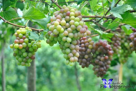 Tanaman Buah Anggur Pohon 40cm tanaman buah anggur merah lokal daftar harga terupdate