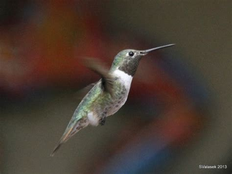 western hummer season outside my window