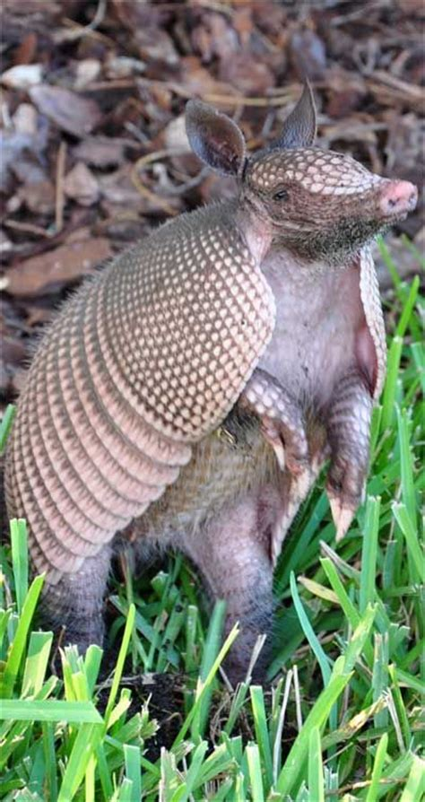 images  armadillo pangolin  pinterest zoos africa  tropical