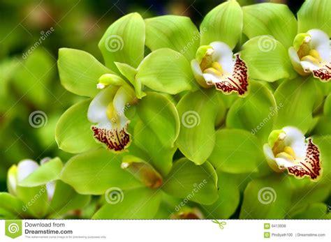 imagenes de orquideas verdes orqu 237 deas verdes hermosas fotos de archivo libres de