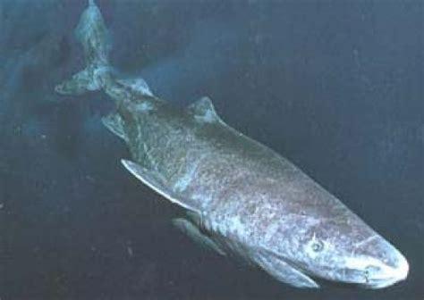 Greenland Sleeper Shark by Greenland Shark Picture Shark