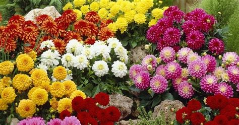 Benih Bunga Dahlia cv bibit unggul benih bibit bunga dahlia terlaris