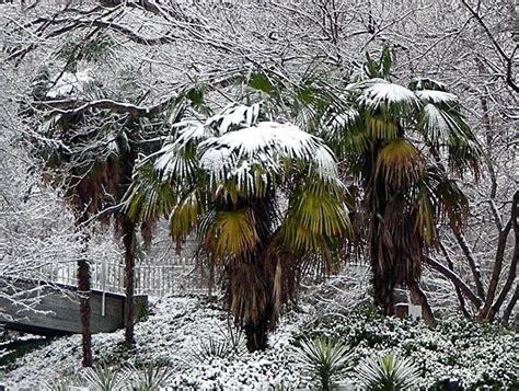 palma pianta da giardino pianta di palma piante da giardino le tante variet 224 di