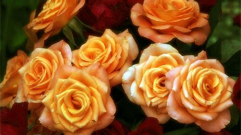 beautiful orange beautiful orange roses www pixshark com images