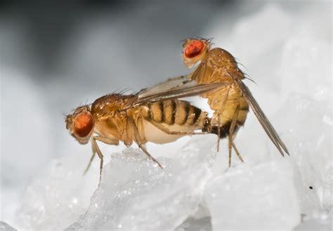 fruit flies something in makes fruit flies