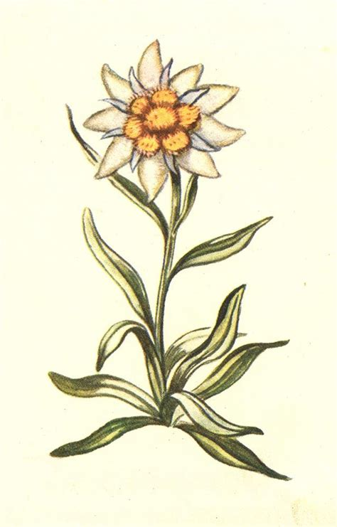 edelweiss tattoo design edelweiss swiss roots tattoos and piercings