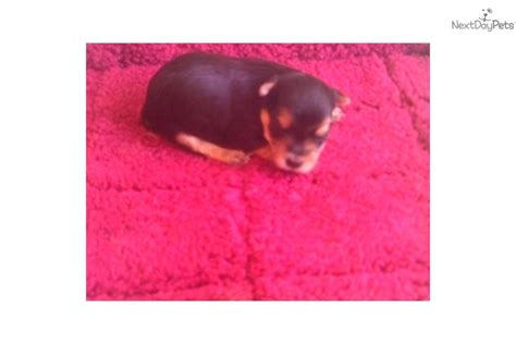 yorkies for sale in sioux falls sd terrier yorkie puppy for sale near sioux falls se sd south dakota