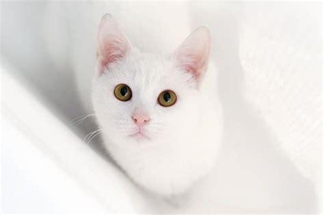 Cat Putih Danagloss White 0001 萌猫盘点 触动你的心 中国在线