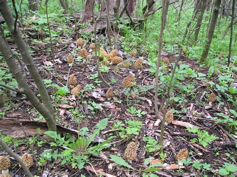 How To Find Pictures Of How To Find More Morel Mushrooms