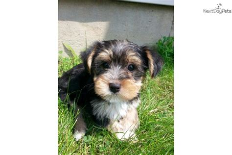 yorkie puppies for sale rochester ny yorkiepoo yorkie poo puppy for sale near rochester new york 92ccdb86 1f81