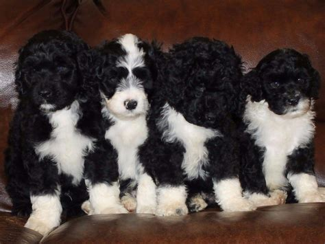 pwd puppies portuguese water pictures portuguese water puppies for sale breeds picture