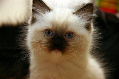 Boneka Kucing Anggora Lucu Putih Abu2 40 foto kucing gambar gambar kucing lucu