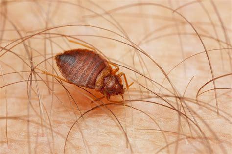 flea vs bed bug flea bites vs bed bug bite feb 2018 which is it