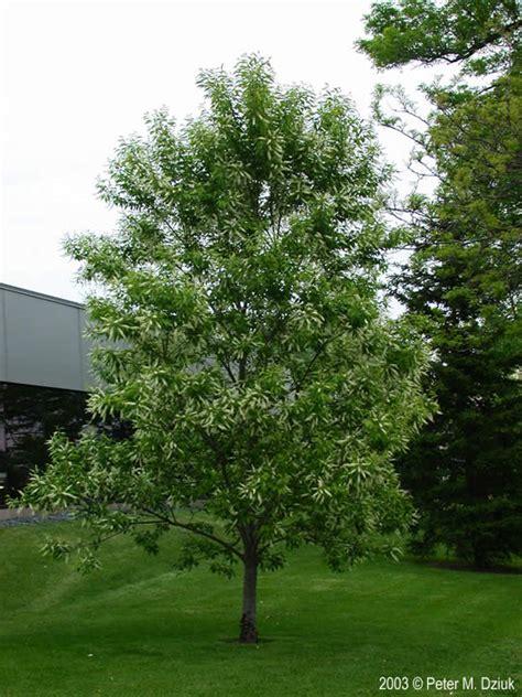 u of mn cherry trees prunus serotina black cherry minnesota wildflowers