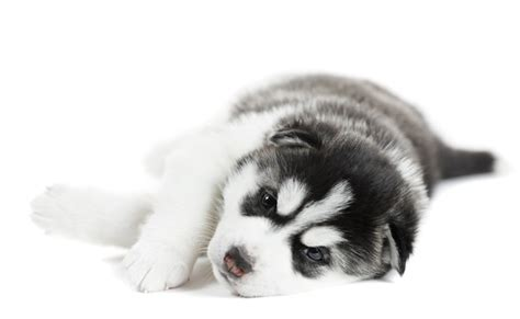 baby husky puppies baby husky puppy tired and lying siberian husky puppies info