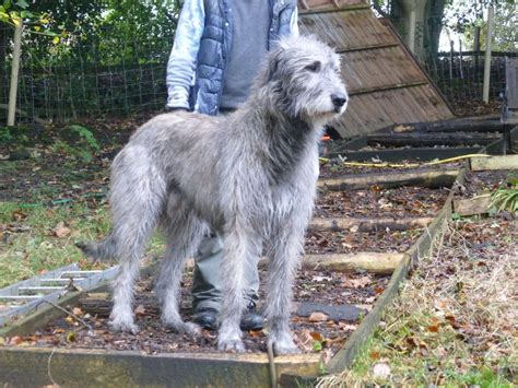 wolfhound puppies for adoption wolfhound puppies oldham greater manchester pets4homes