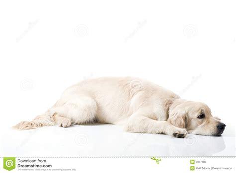 sad golden retriever puppy sad golden retriever royalty free stock images image 4987689
