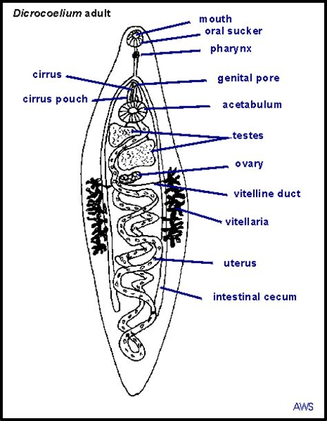 Diagram Of Tapeworm Liver Fluke Earthworm Hydra With Labelling 10092557 Meritnation Principles Of Parasitism Dicrocoelium