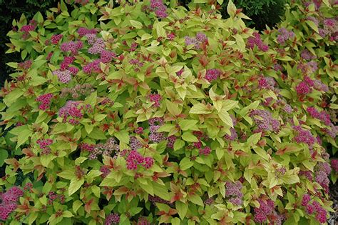 leaves pink flowers shrub magic carpet spirea spiraea x bumalda magic carpet in