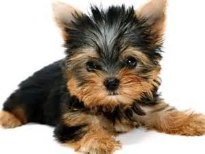 black and brown yorkie puppies wallpaper black and brown and wallpapers on
