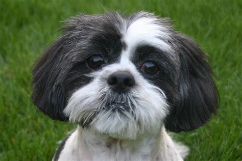 original shih tzu cutie shih tzu wallpapers and images wallpapers pictures photos