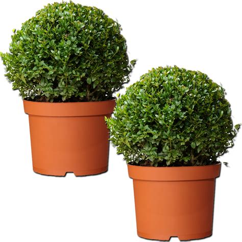 real topiary balls pair of real 30cm evergreen buxus balls plants