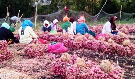 harga bawang merah merosot petani  probolinggo terancam