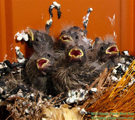 house finch babies house finches nest again in 2010 live webcam