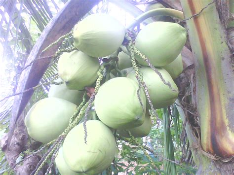 Jual Bibit Kelapa Genjah jual bibit kelapa kopyor genjah asli pati aneka bibit