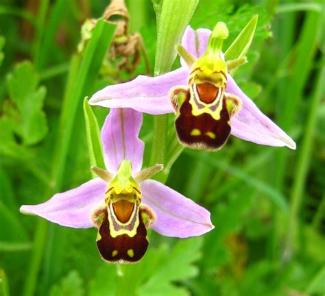 facts about the bee orchid orchids plus orchids that look like bees www pixshark com images