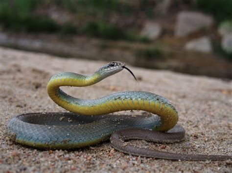 Garter Snake Belly Eastern Yellow Bellied Racer Facts And Pictures Reptile Fact