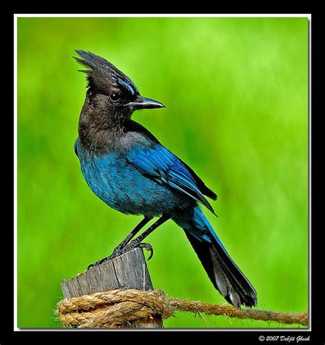 stellar blue jay flickr photo sharing