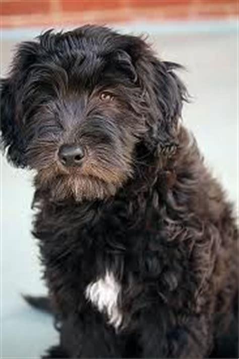 bergamasco puppies 1000 images about bergamasco shepherds